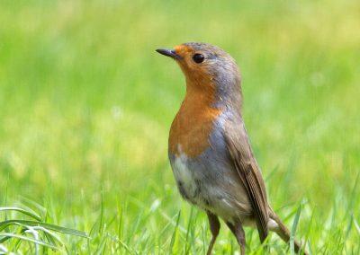 Roodborst, Robin, Erithacus rubecula, imponeren, impressing