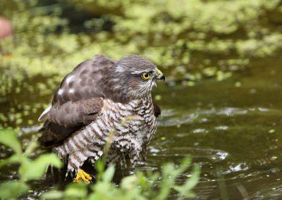 Sperwer, Sparrowhawk, Accipiter nisus, poetsen, preening