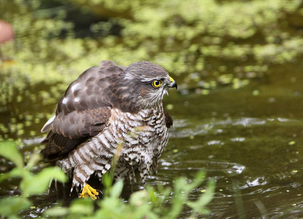 Sperwer  - Sparrowhawk 25/08/2013. Verenkleed poetsen.