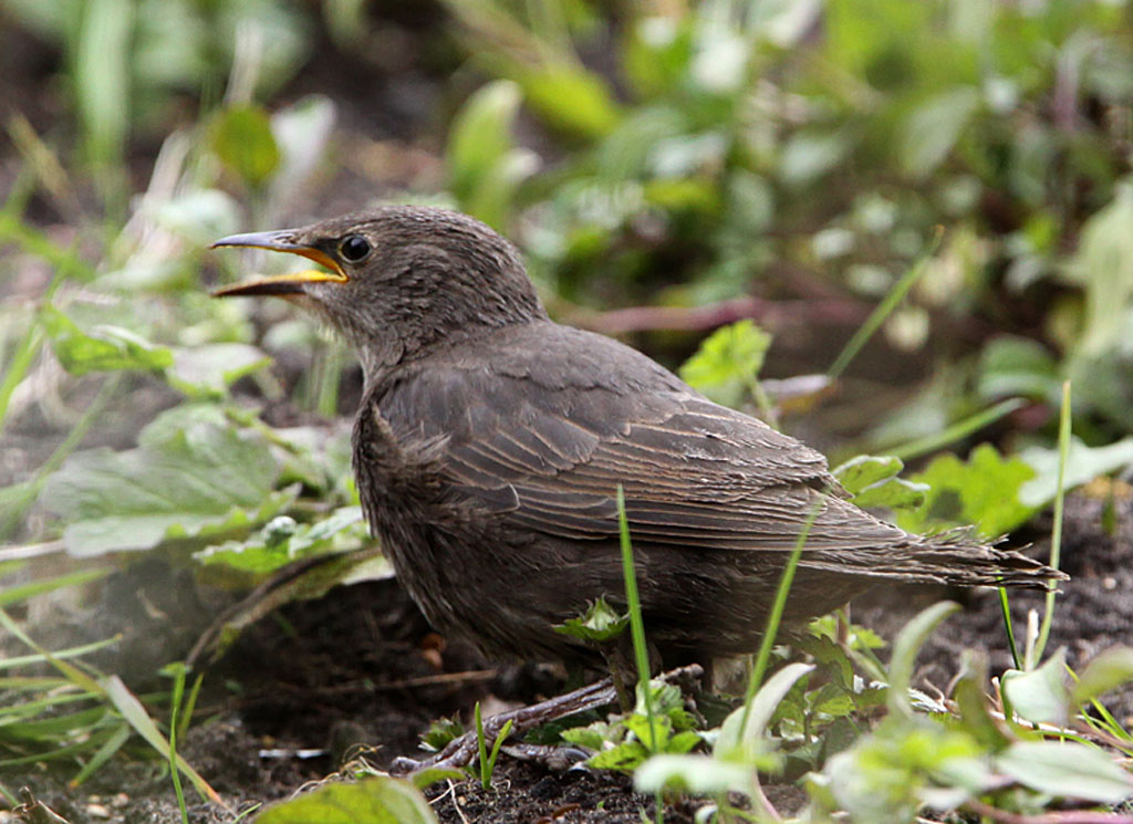 Spreeuw, Starling, Sturnus vulgaris, foerageren, foraging