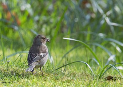 Vink 6/04/2018. Begin april al met jongen.