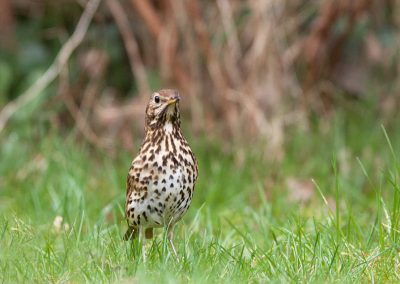 Zanglijster -  Song Thrush 21/03/2018.