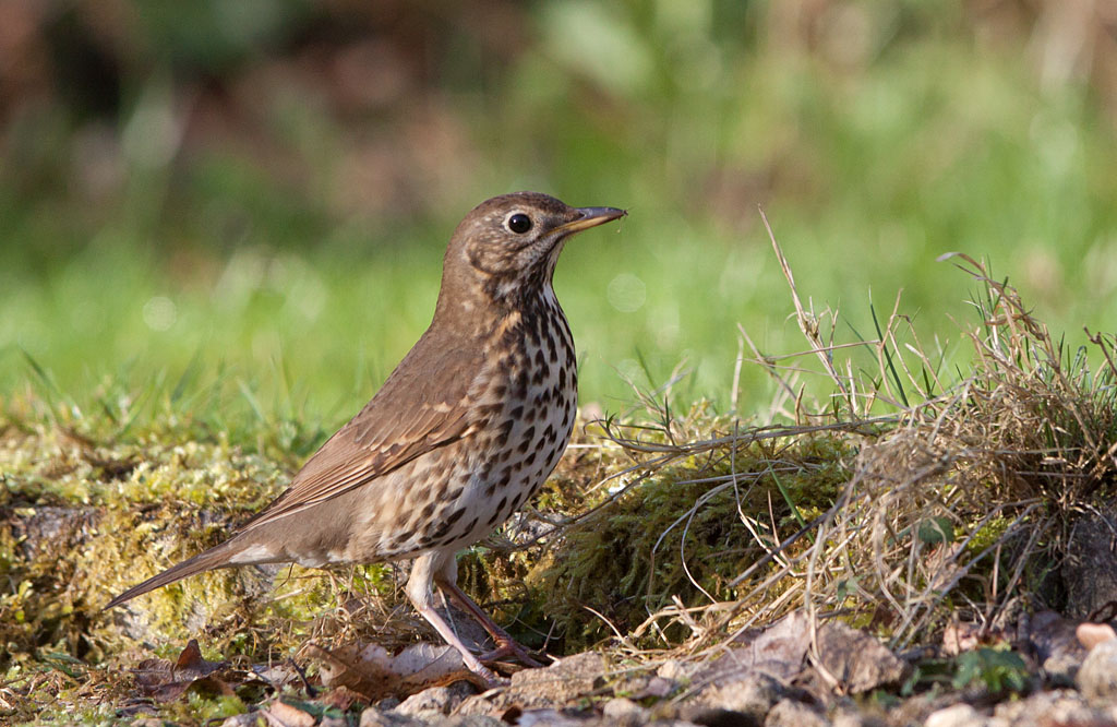 Zanglijster -  Song Thrush 22/03/2017.