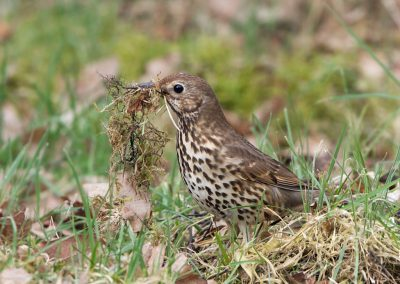 Zanglijster -  Song Thrush 24/03/2017.