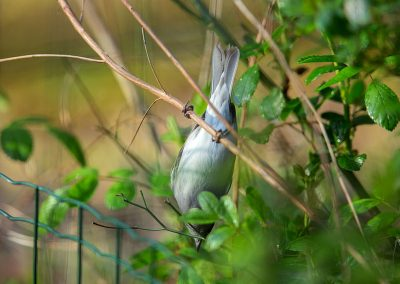 Zwartkop, Sylvia atricapilla, blackap, nestelen, nesting