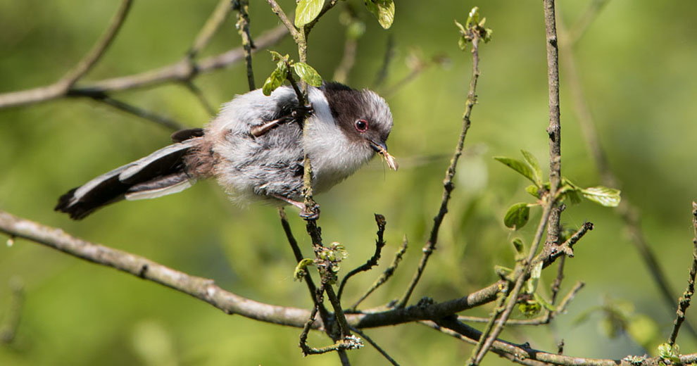 Staartmees, Long-tailed Tit.