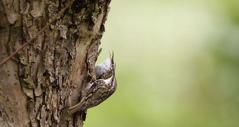 Boomkruiper, Treecreeper.