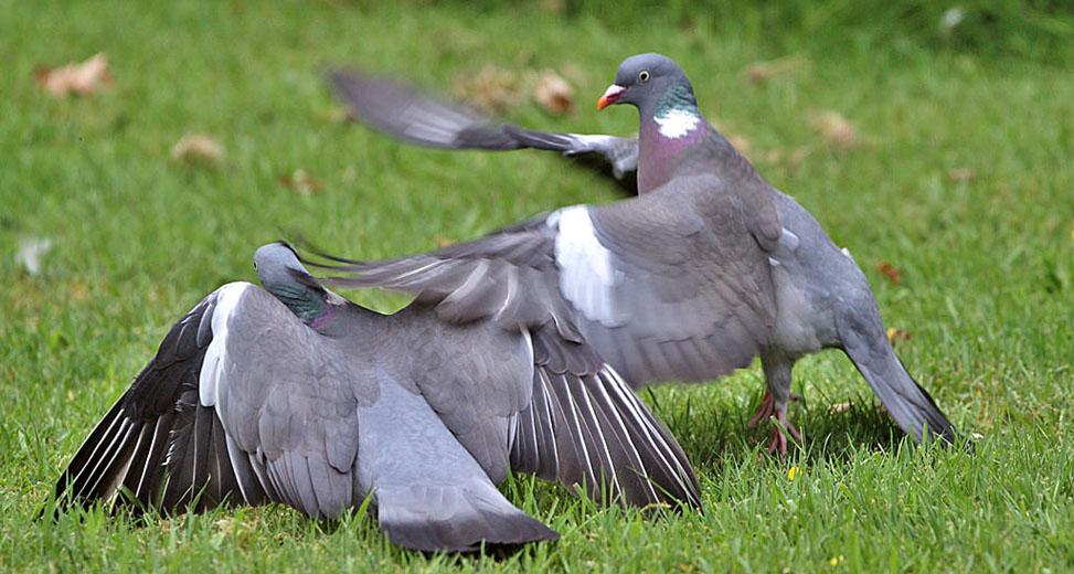 Houtduif, Stock Dove
