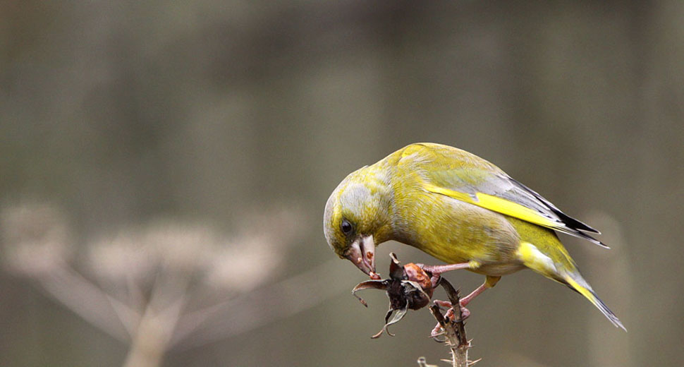 Groenling, Greenfinch