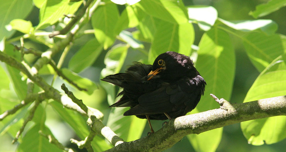 Merel, Blackbird