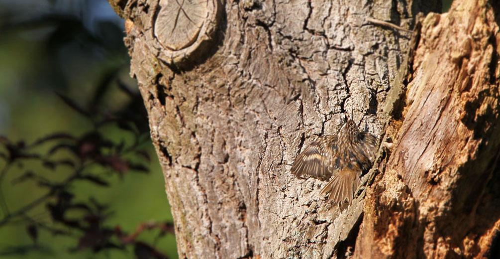 Boomkuiper, Treecreeper