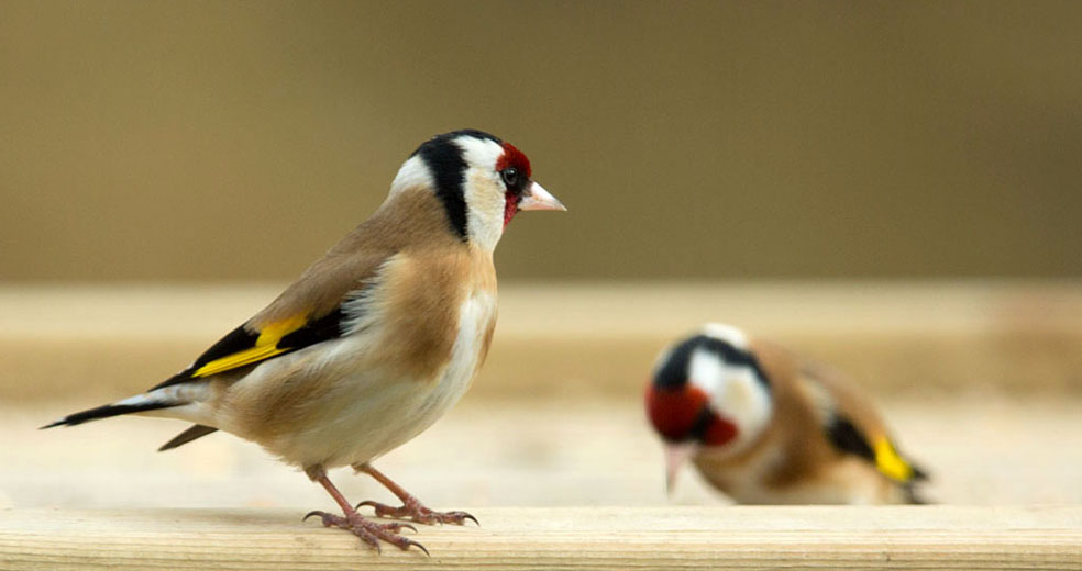 Putters - Goldfinch. Voedertafel