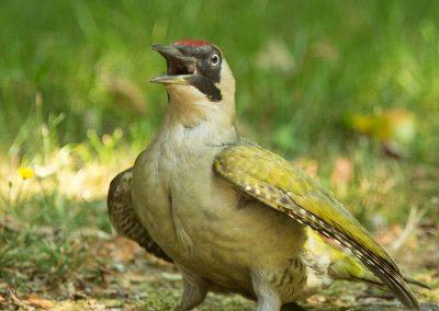 Groene specht - Green Woodpecker 15/07/2018. Naar lucht happen.