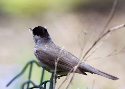 Zwartkop 28/04/2012. Spinrag om nest vast te hechten aan takjes.
