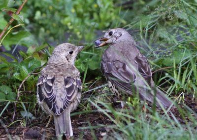 Grote lijster -  Mistle Thrush 15/07/2011. Ouder voedert blauwe bessen aan jong.