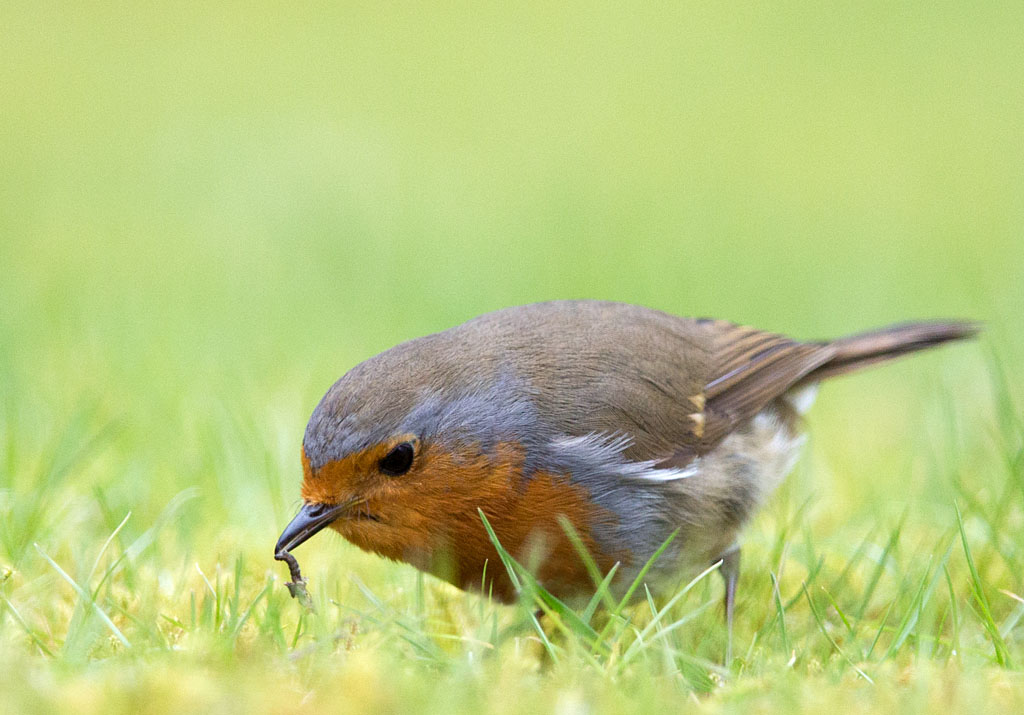 Roodborst, Robin, Erithacus rubecula, foerageren, foraging