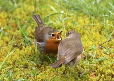 Roodborst  -  Robin 25/04/2016. Voorbeeldig mannetje stop vrouwtje voedsel toe tijdens een broedpauze. Broedpauzes van ong. 15 min om het uur.