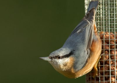 Boomklever - Nuthatch 12/10/2018.