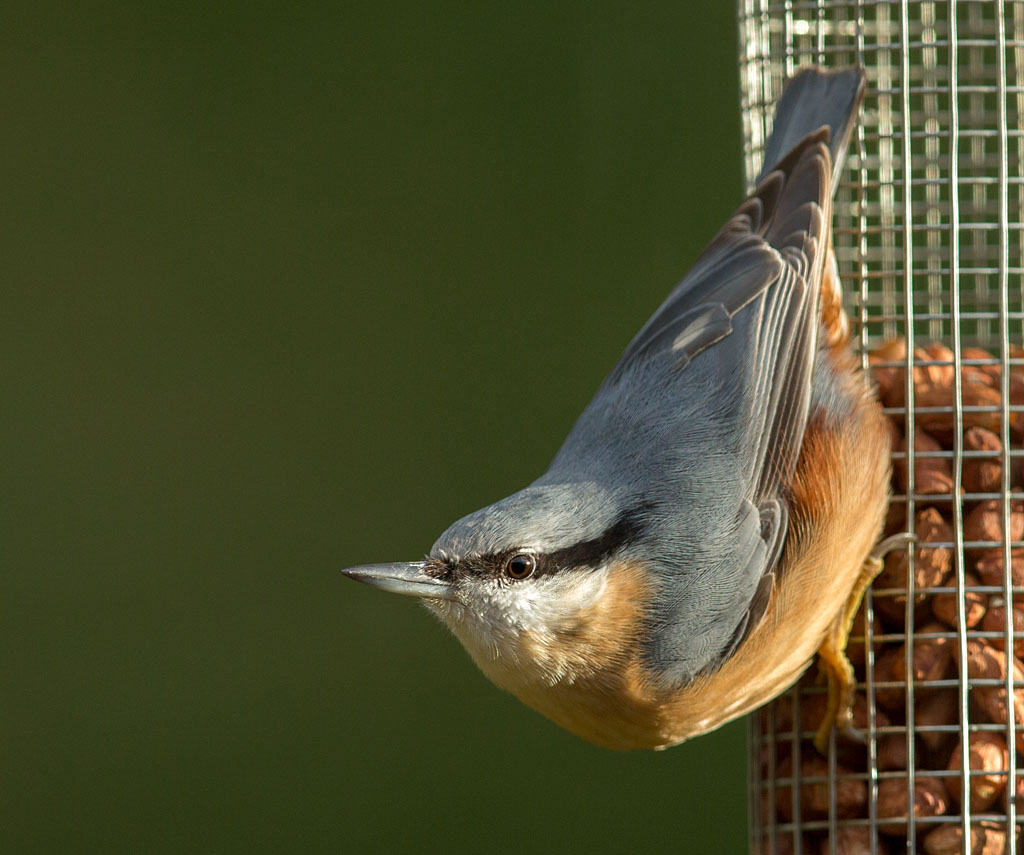 Boomklever, Nuthatch, Sitta europaea, pinda's, peanuts