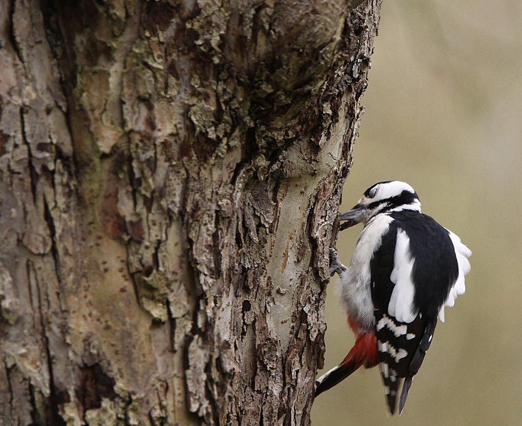 Grote bonte specht, Great Spotted Woodpecker, azen, feeding