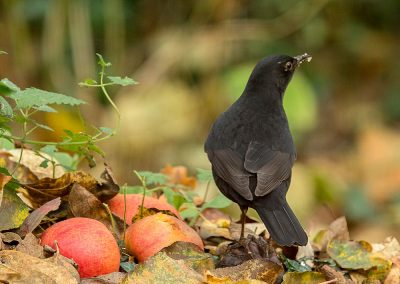Merel, Blackbird, appel, eating apple