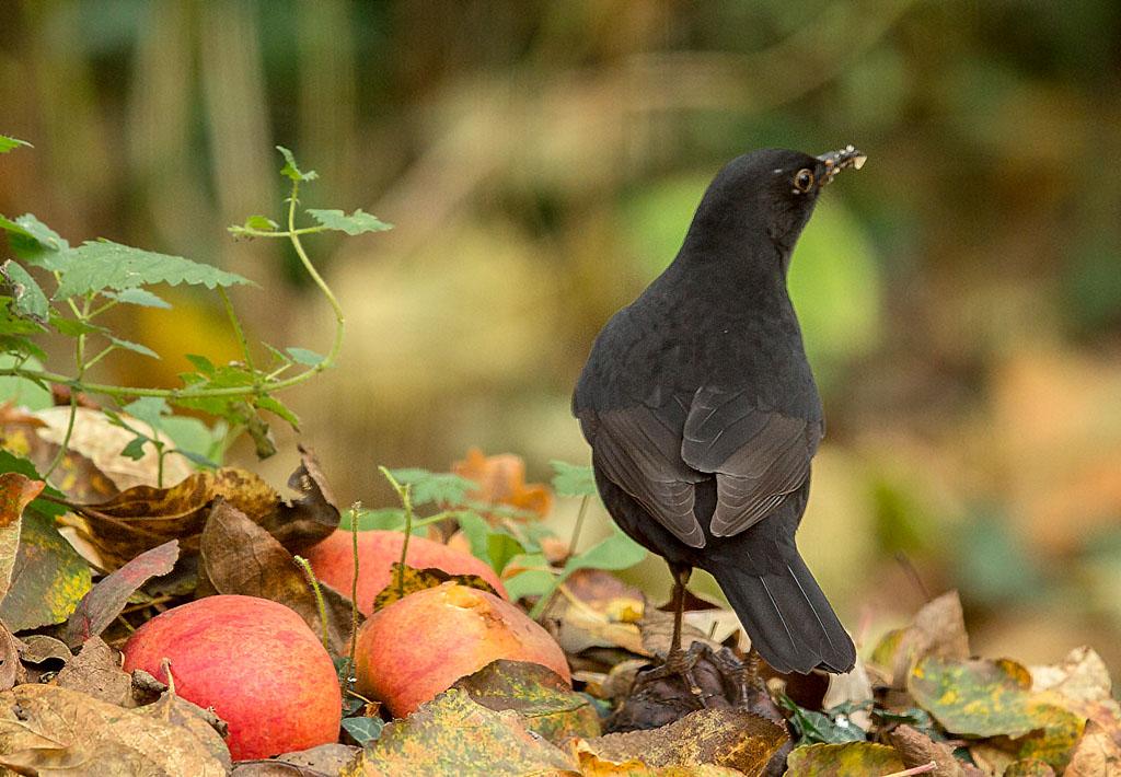 Merel, Blackbird, appel, eating apple