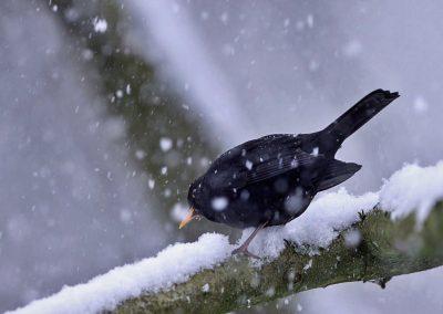 Merel, Blackbird, sneeuw, snow