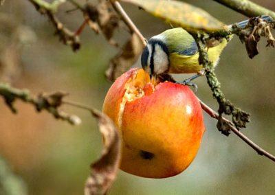 Pimpelmees , Blue Tit, foerageren, foraging , appel, apple