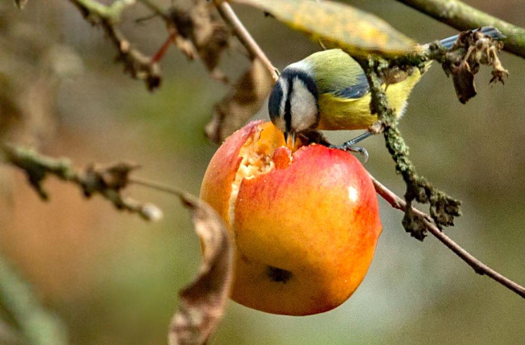 Pimpelmees , Blue Tit, appel, apple