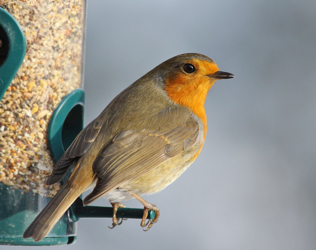 Roodborst, Robin, feeding table, voedertafel