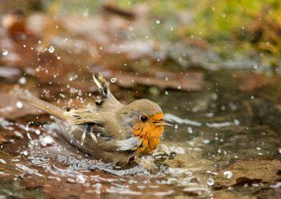Roodborst, Robin, baden, bathing