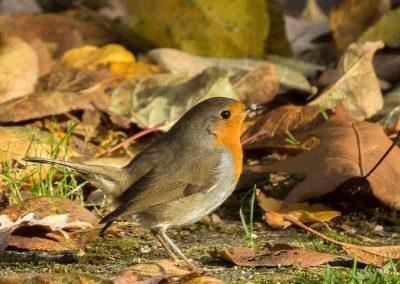 Roodborst, Robin, foerageren, foraging