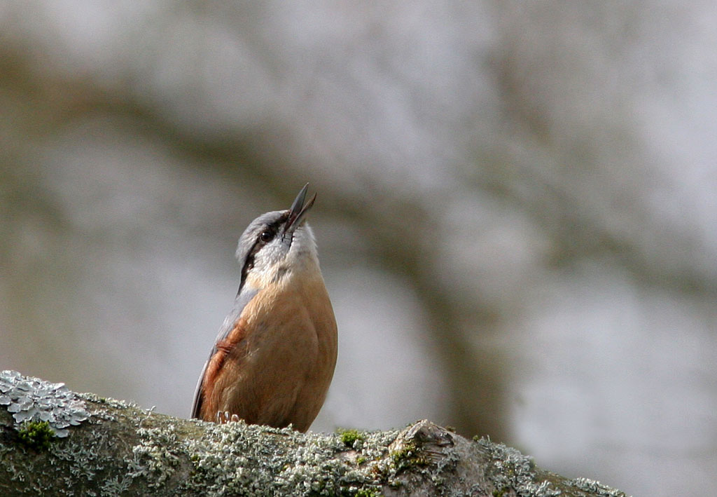 Boomklever - Nuthatch 2/04/2006. Uit volle borst.