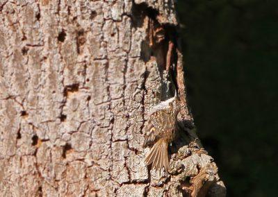Boomkruiper - Short-toed Treecreeper 8/05/2016.