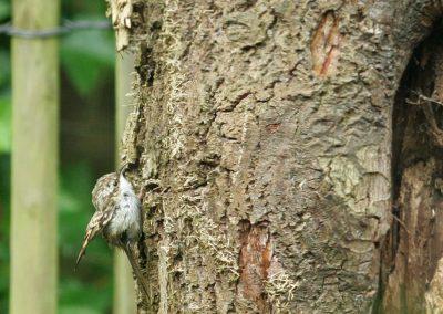 Boomkruiper - Short-toed Treecreeper 15/06/2009. Schattig jong.