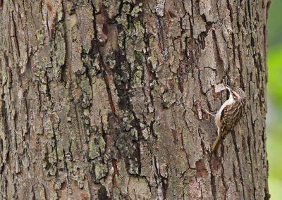Boomkruiper - Short-toed Treecreeper 5/11/2014.