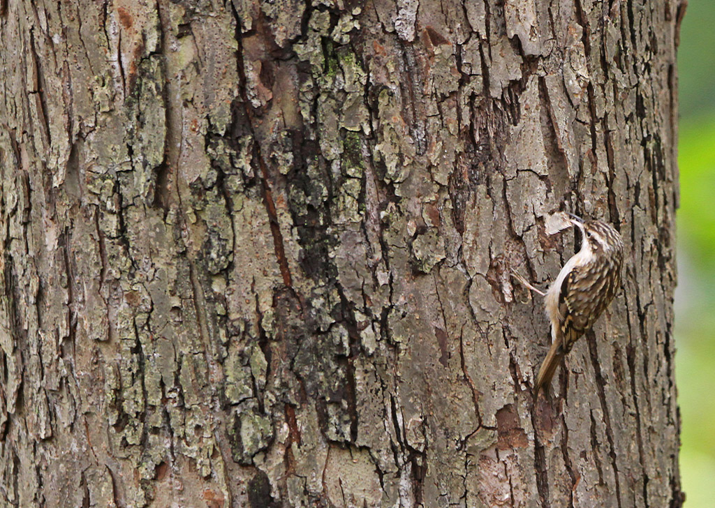Boomkruiper, Treecreeper, foerageren, foraging