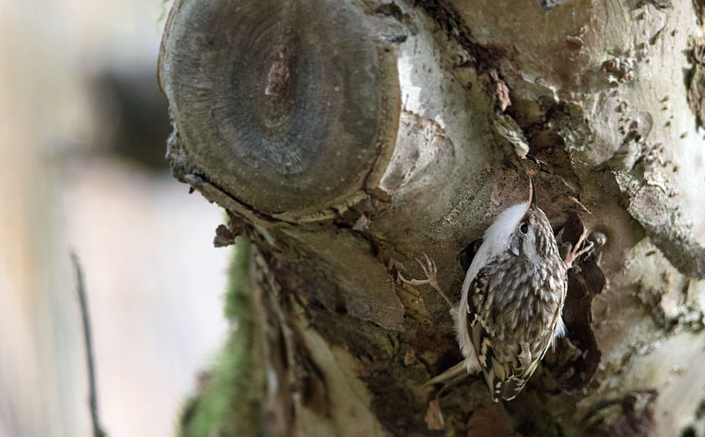 Boomkruiper, Short-toed Treecreeper, Certhia brachydactyla, poseren, posing