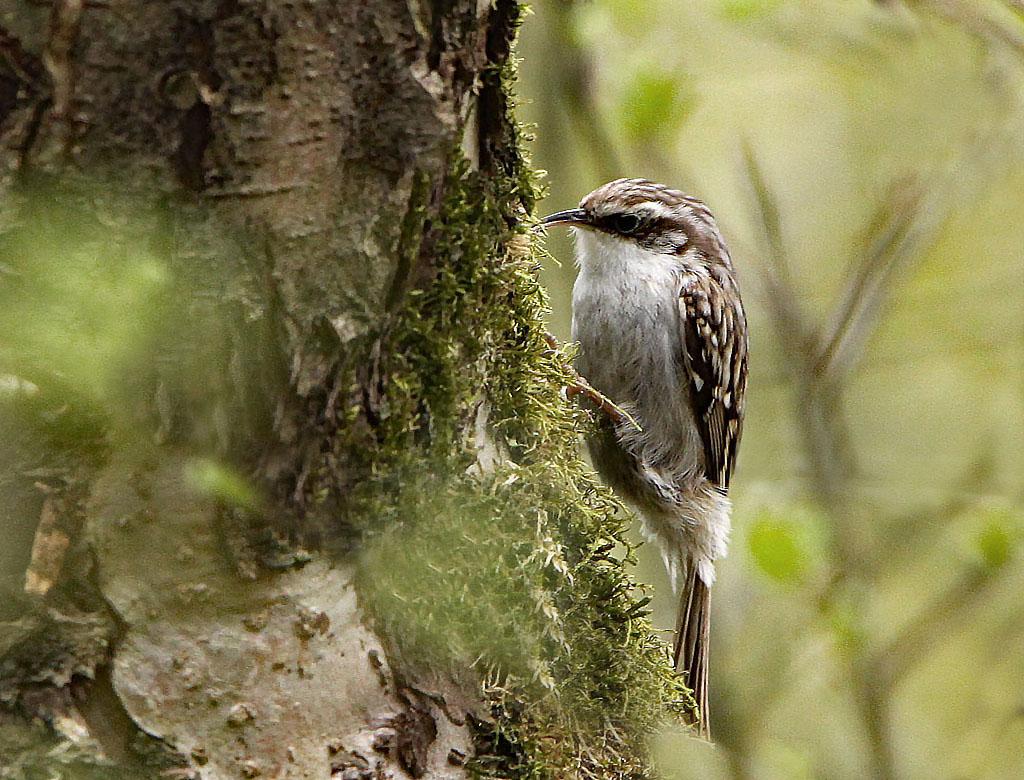 Boomkruiper, Treecreeper, Certhia brachydactyla, foerageren, foraging