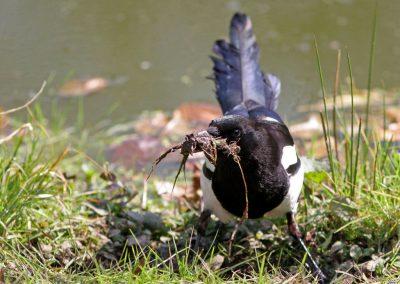 Ekster, Magpie, nestelen, nesting
