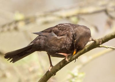 Merel, Blackbird, poetsen, preening