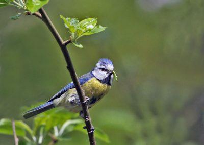 Pimpelmees, Blue Tit, azen, feeding, broeden, breeding