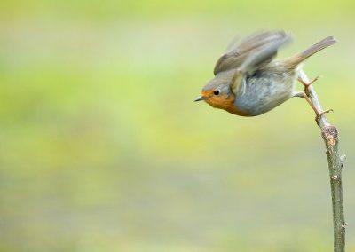 Roodborst, Robin, vliegen, flying