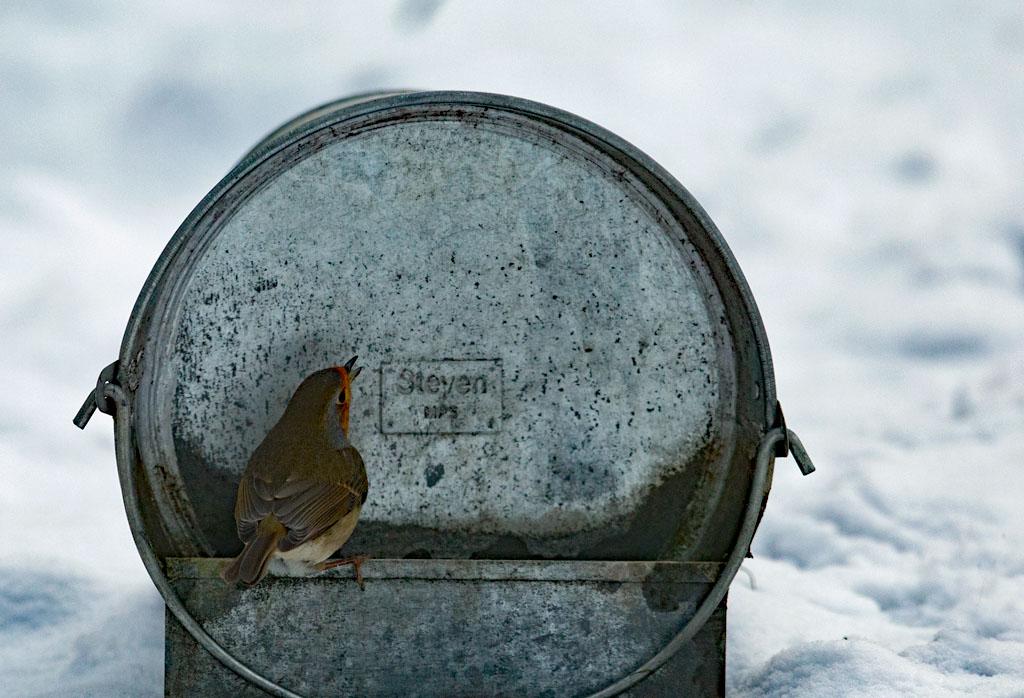 Roodborst  -  Robin 23/01/2019. Bij de kippendrinkemmer.