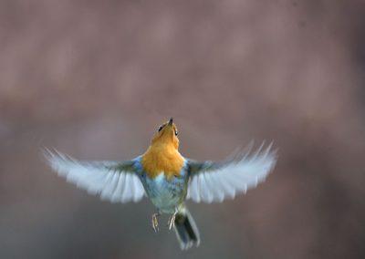 Roodborst, Robin, Erithacus rubecula, vliegen, flying