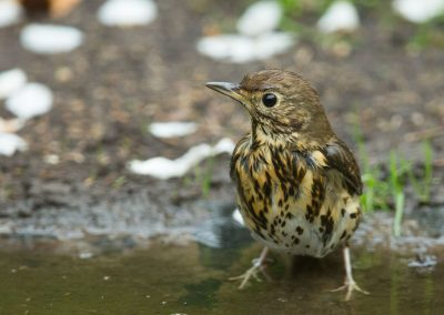 Zanglijster -  Song Thrush 29/04/2018.