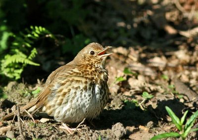 Zanglijster -  Song Thrush 30/05/2009.