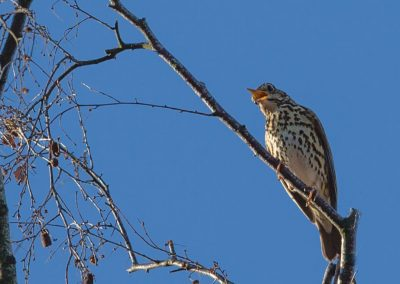 Zanglijster -  Song Thrush 25/02/2019.