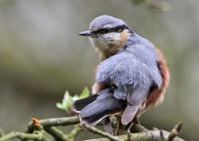 Boomklever - Nuthatch 4/04/2011.