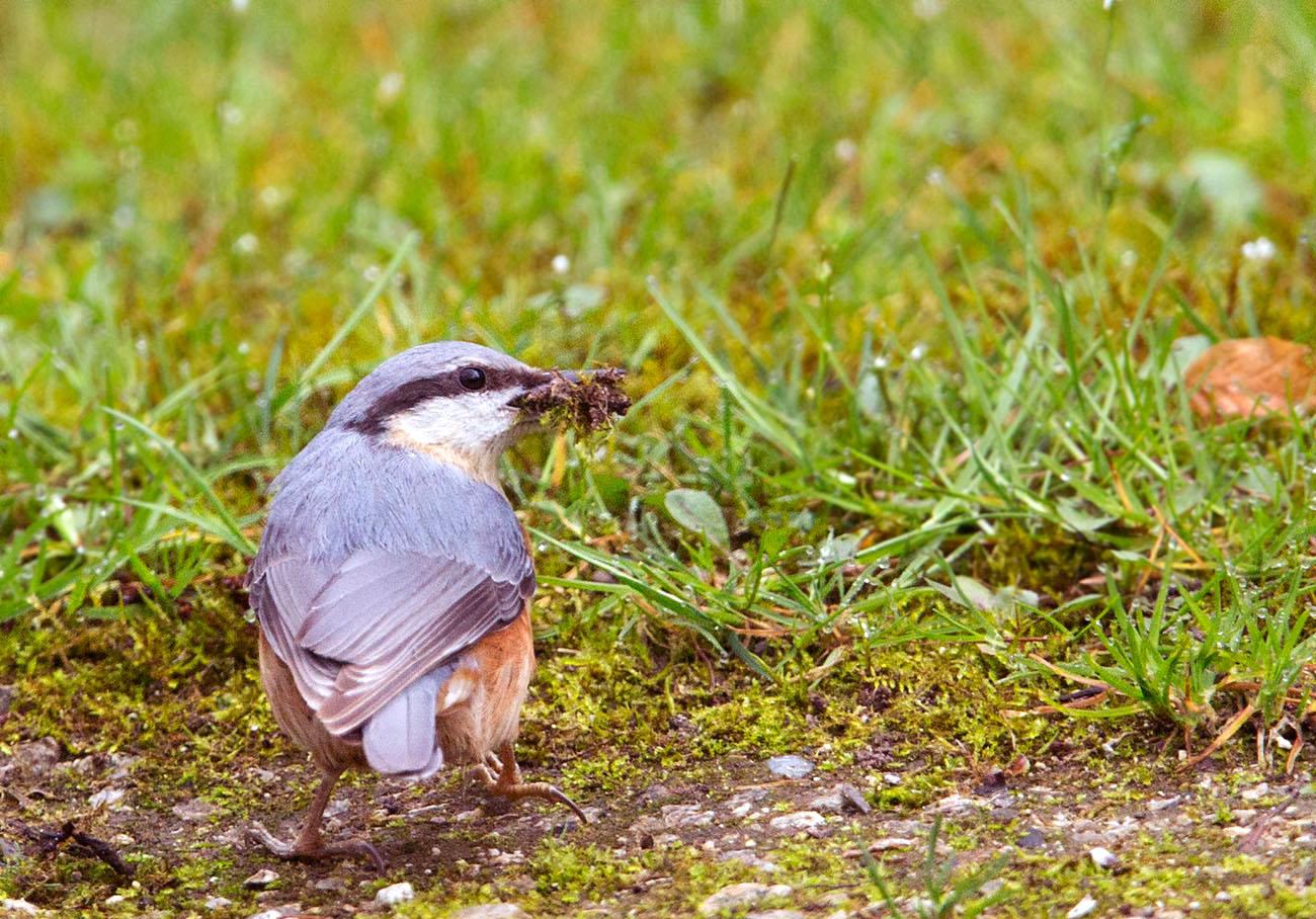 Boomklever, Nuthatch, nestelen, nesting